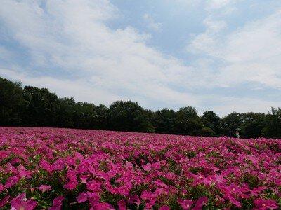 【花・見ごろ】国営武蔵丘陵森林公園 ペチュニア
