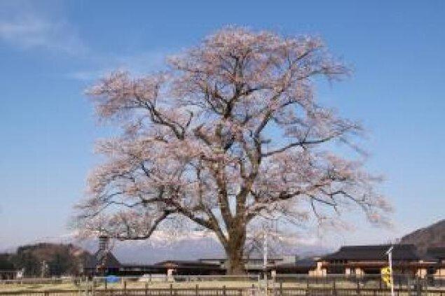 【桜・見ごろ】万燈桜