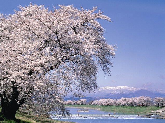 白石川堤一目千本桜・おおがわら桜まつり