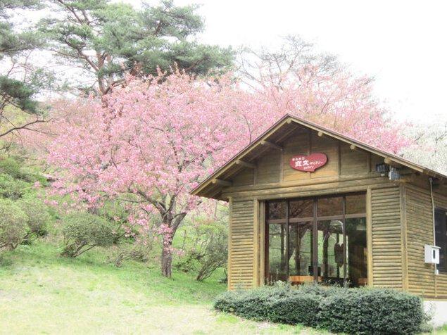 きみまち阪桜まつり
