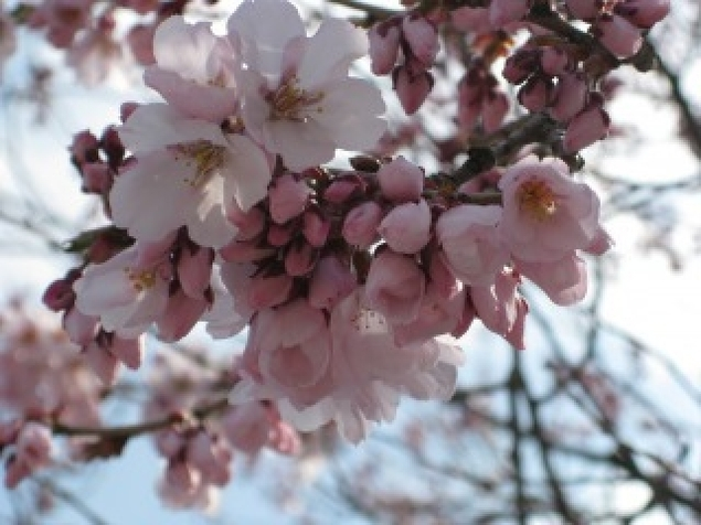 【桜・見ごろ】八ヶ岳中央農業実践大学校