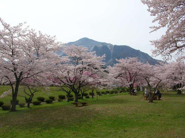 【桜・見ごろ】羊山公園