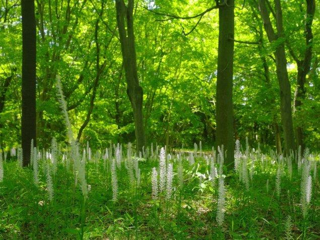【花・見ごろ】国営武蔵丘陵森林公園 シライトソウ<中止となりました>