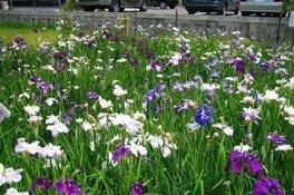 知立公園花しょうぶまつり