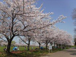 みさと公園の桜