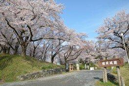 雉岡城跡の桜