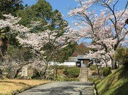 柳生芳徳禅寺周辺の桜