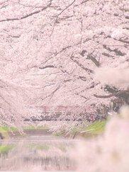 大口町 五条川の桜並木