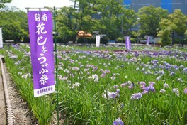 初夏を彩る花しょうぶが見頃を迎える