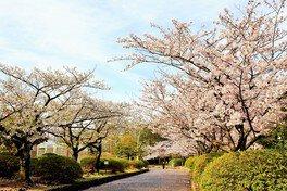 久良岐公園の桜