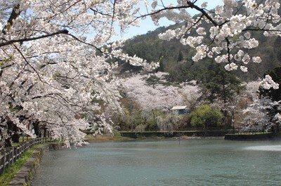 真人公園の桜