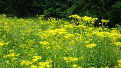 【花・見ごろ】国営武蔵丘陵森林公園 秋の七草オミナエシ