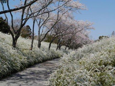 愛知県緑化センターの桜