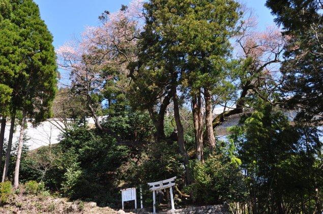 【桜・見ごろ】奥大山江府町「下蚊屋の明神桜」