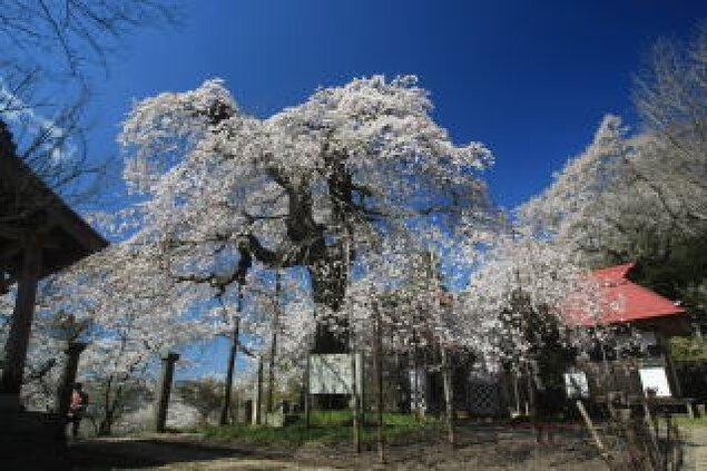 【桜・見ごろ】護真寺