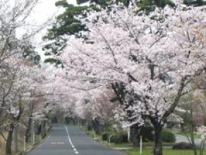 【桜・見ごろ】萩原桜並木報恩峠