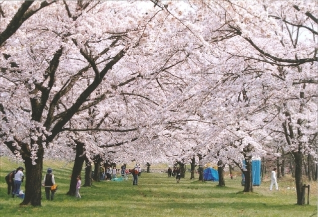 【桜・見ごろ】雫石川園地