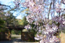 六義園の桜【臨時休園】