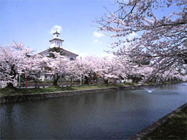 【桜・見ごろ】鶴岡公園