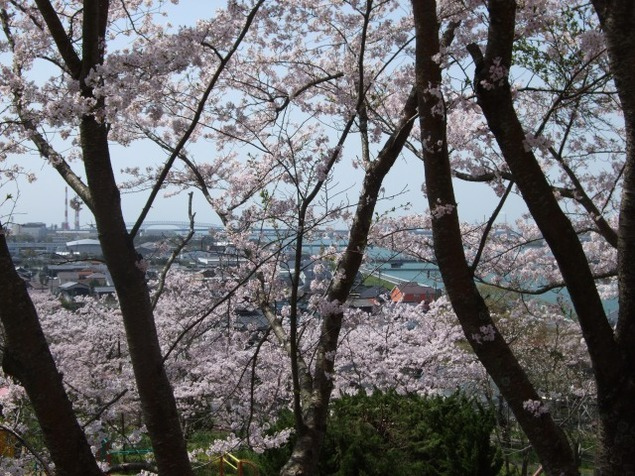 【桜・見ごろ】岩鼻公園