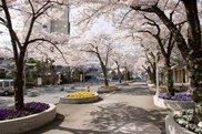 【桜・見ごろ】花巻温泉