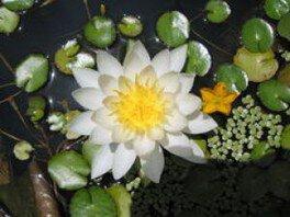 【花・見ごろ】越前町立福井総合植物園 プラントピア スイレン