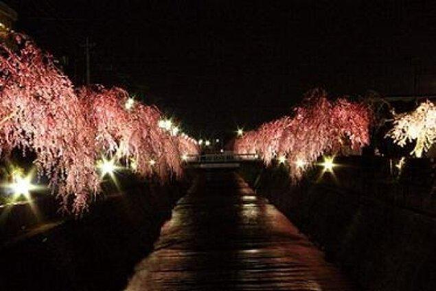 倉津川しだれ桜ライトアップ