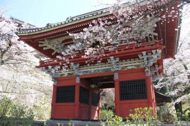 【桜・見ごろ】雨引観音