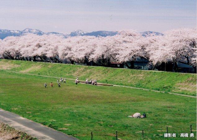 【桜・見ごろ】不動大橋周辺