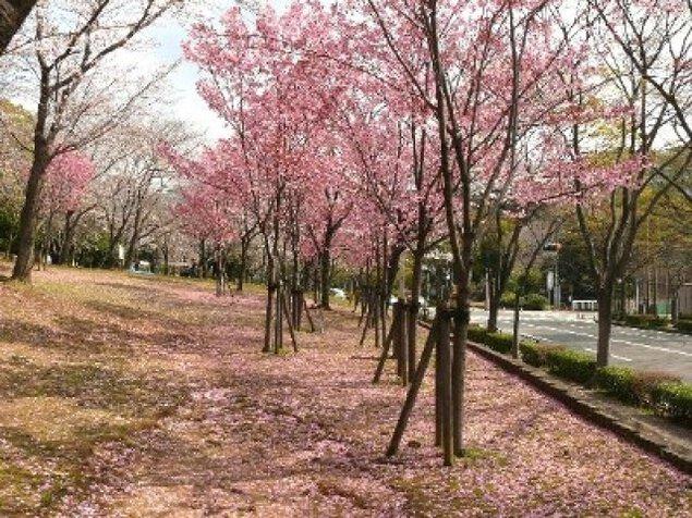 【桜・見ごろ】中央公園