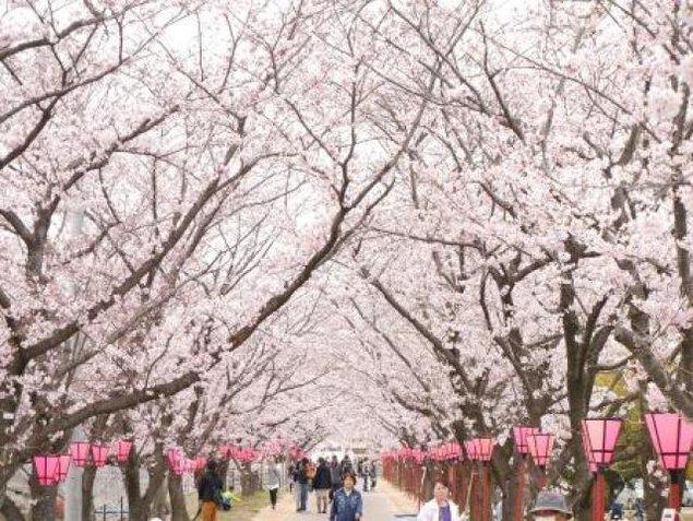 はつかいち桜まつり<中止となりました>