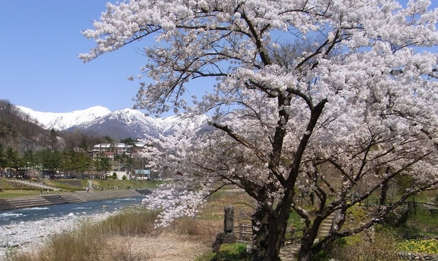 水上温泉(諏訪峡付近)の桜