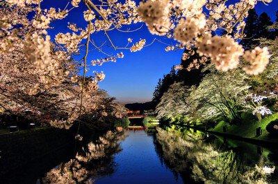 松が岬公園の桜
