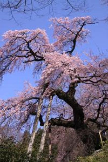 【桜・見ごろ】蓮華寺のシダレザクラ