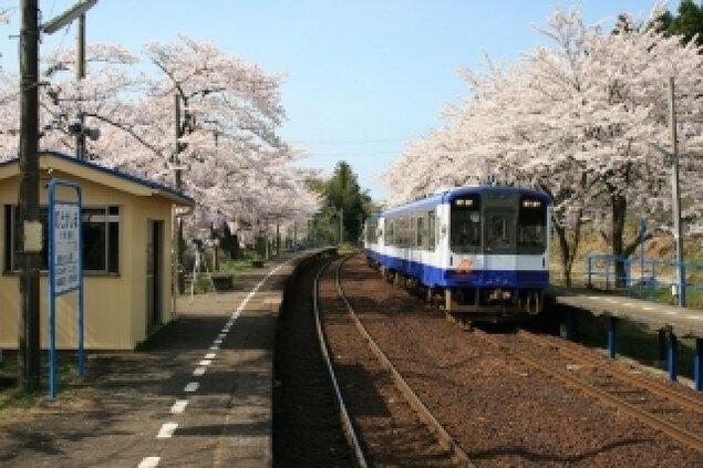 【桜・見ごろ】のと鉄道能登さくら駅
