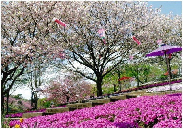 【桜・見ごろ】静峰ふるさと公園 八重桜まつり