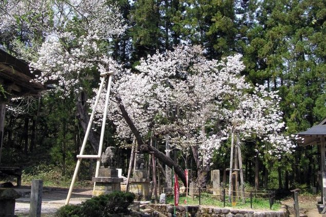 【桜・見ごろ】虎の尾桜