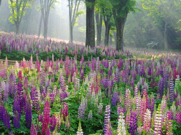 【花・見ごろ】国営武蔵丘陵森林公園 ルピナス<中止となりました>