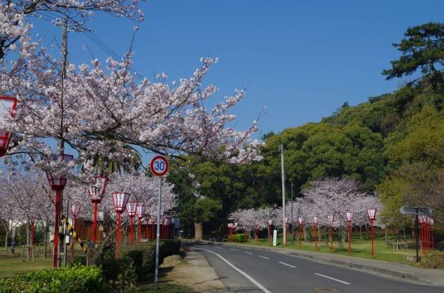 【桜・見ごろ】琴弾公園