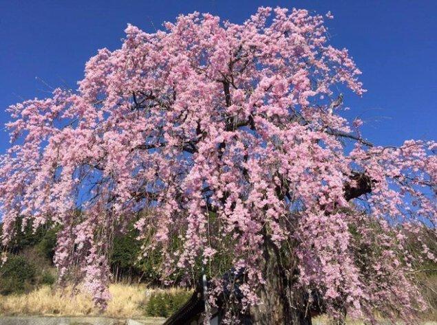 【桜・見ごろ】上市之瀬のイトザクラ