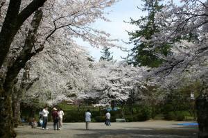 【桜・見ごろ】郡上八幡 愛宕公園