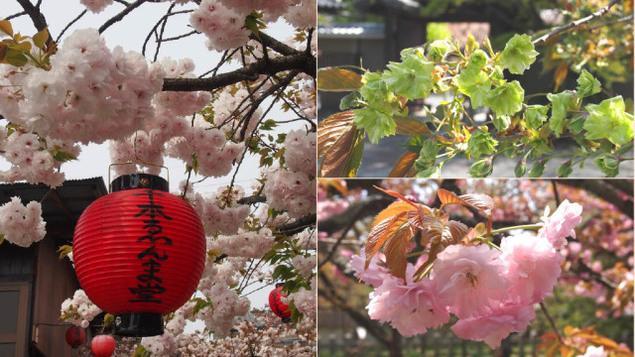 現地講座 桜のフィナーレを飾る八重桜 千本ゑんま堂から平野神社へ