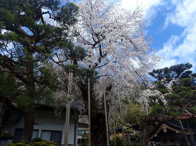 鳳泉寺の桜