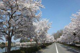 【桜・見ごろ】上野公園