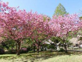 【桜・見ごろ】有珠善光寺自然公園