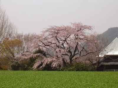宝珠寺の桜