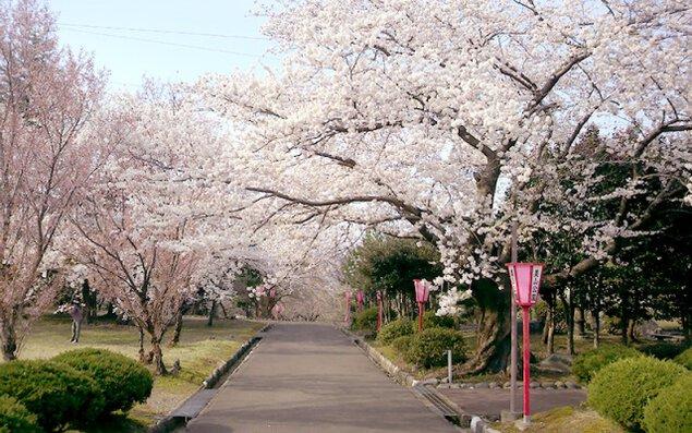 【桜・見ごろ】美山公園