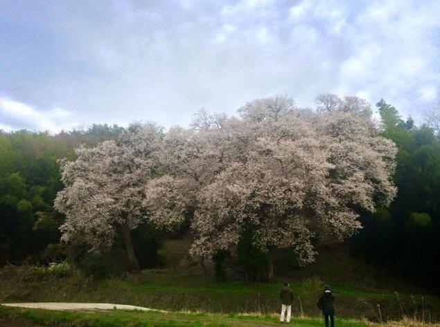 【桜・見ごろ】張戸お大師桜