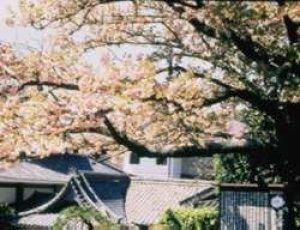【桜・見ごろ】西光寺のオオムラザクラ