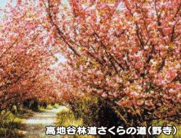 【桜・見ごろ】高地谷林道桜の道